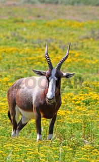 Buntbock im West Coast Nationalpark, Südafrika, Bontebok, West Coast National Park, South Africa