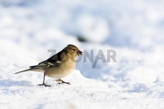 Buchfink (Fringilla coelebs)  / chaffinch (Fringilla coelebs)