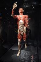 Präparat, Plastinat, Körper eines Mannes,   Menschen Museum, Ber