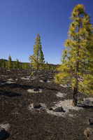Kanarische Kiefern (Pinus canariensis) in Vulkanlandschaft, Tei