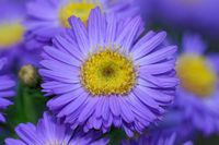 aster in autumn