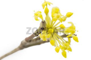 Blüte einer Kornelkirsche auf weißem Hintergrund