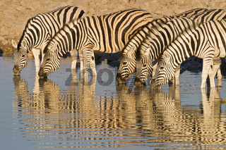 Steppenzebras, Pferdezebras (Equus quagga burchelli) beim Trinken aus Wasserloch, Etosha-Nationalpark, Namibia, Afrika, Plains Zebras, Common Zebras or Burchells Zebras, Etosha NP, Africa