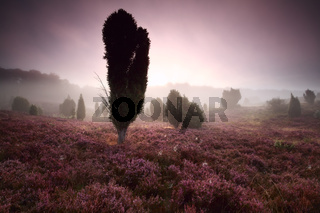 juniper trees and heather at misty sunrise