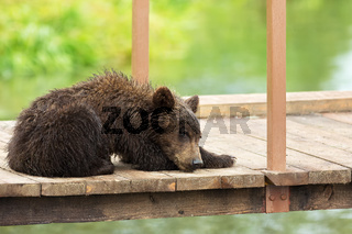 Small brown bear on bridge fence to account for fish. Kurile Lake.