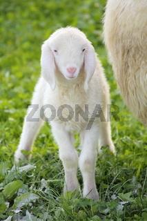 junges Lamm auf der Weide