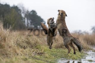 Tanz der Füchse... Rotfüchse *Vulpes vulpes*