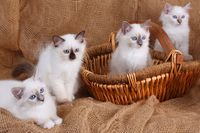 SACRED CAT OF BIRMA, BIRMAN CAT, BIRMAN, KITTEN, LITTER, BASKET,