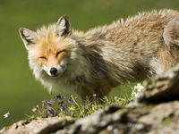 mountain fox in Switzerland
