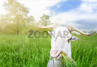 Funny billy goat with grass in its mouth