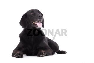 Obedienced labrador