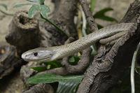 Schwarze Mamba (Dendroaspis polylepis), Giftschlange, capitve, V