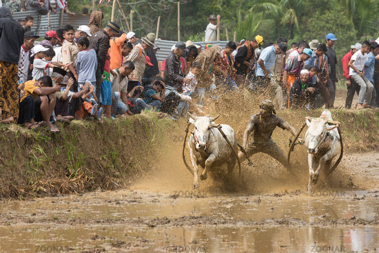 Pacu Jawi (Cow Racing) in West Sumarta, Indonesia