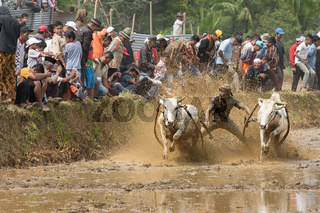 Annual traditional sport of Pacu Jawi (cow racing)