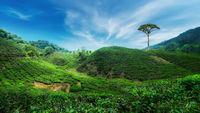 Tea plantation landscape. Malaysia