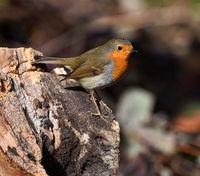 robin; redbreast; Erithacus rubecula;