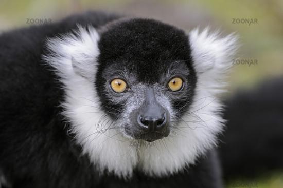 Schwarzweisser Lemur, Lemur variegatus, Vari, Halbaffe