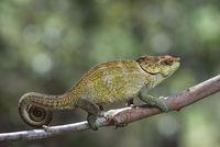 Cryptic Chameleon (Calumma crypticus), (Chameleonidae),  Anjozorobe National Park, Madagascar