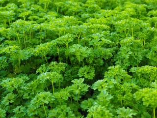 Curly leaf parsley