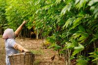 Female farm worker tends to cassava crops.