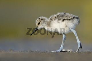 Säbelschnäblerkueken (Recurvirostra-avosetta), Deutschland