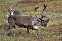 Caribou / Reindeer / Porcupine Caribou / Grants Caribou / Rangifer tarandus / velvet-covered antlers