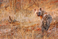 young hyena, wildlife, Kruger NP, South Africa