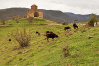 ancient church with Cows