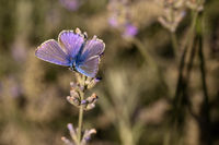 Male Common blue / Polyommatus icarus butterfly