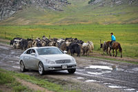 A herd of Yaks and a Mercedes car meeting on a muddy country road, Mongolia
