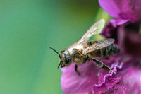 bee on flower / southern burgenland
