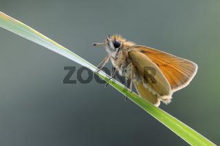 freigestellt... Schwarzkolbiger Braun-Dickkopffalter *Thymelicus lineola*