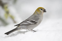 on snow covered ground... Pine grosbeak *Pinicola enucleator*
