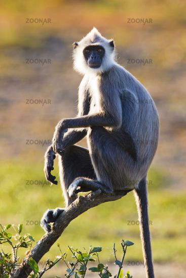 Hanuman Langur - Bundalla NP, Sri Lanka