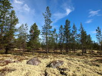 Boreal coniferous forest in the Norwegian-Swedish border area.