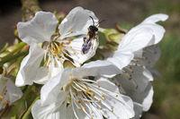 Wild bee, wild bee, (Apoidea), on blossom