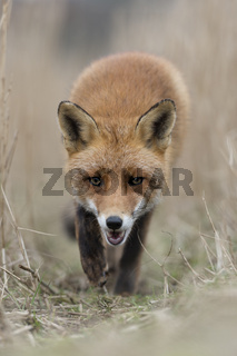 am Fuchspass... Rotfuchs *Vulpes vulpes*