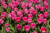 Pink Dutch Tulips, Lisse, Bollenstreek, Netherlands