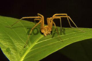 Fishing spider male, Pisuridae, Aarey Milk Colony, Mumbai, Maharashtra