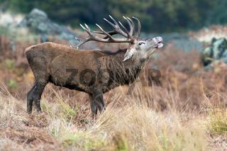 Red Deer Stag Bolving (Cervus elaphus)