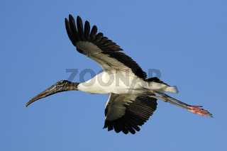 Wood stork flying in blue sky