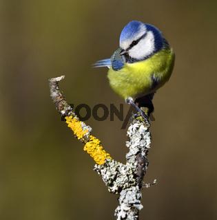 Meise; Blaumeise; Cyanistes caeruleus; tit; bluetit; tomtit;