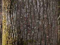 ash; ash-tree; bark;