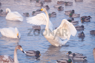 Cygnus cygnus - whooper swan flittering on Altai lake
