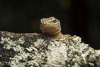 Costal leaf-toed gecko (Phyllodactylus reissii), Ecuador