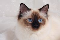 SACRED CAT OF BIRMA, BIRMAN CAT,SEAL-POINT, CLOSEUP,