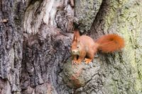 Red Squirrel 37