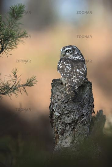 backside view... Little Owl *Athene noctua*