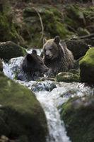 playing in flowing water of a wild creek... European Brown Bears *Ursus arctos*