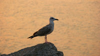 Seagull relaxing on rock sea coast at sunset